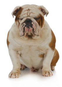 Grumpy english Bulldog