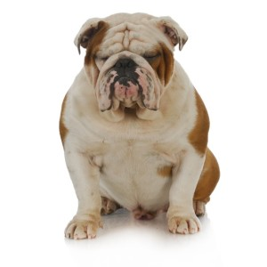 Grumpy English Bulldog