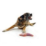 Aggressive dog with Food